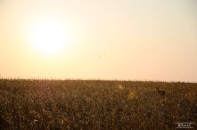 A deer grazes in a recently harvested field of dry corn along the road to my grandparent's farm.