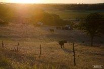 cows-kansas-lyona-moo