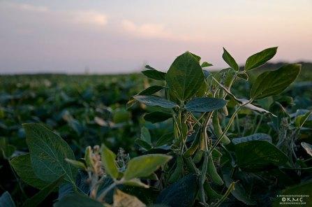 soy-bean-crop-kansas-rual-mcnickle