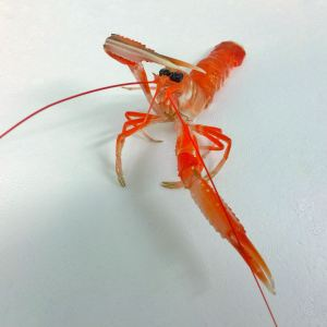 Scottish Live Langoustines
