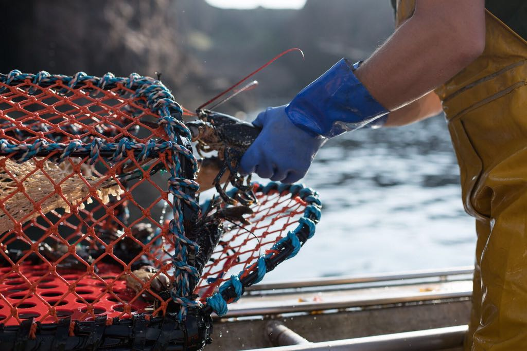 keltic seafare scottish live lobster