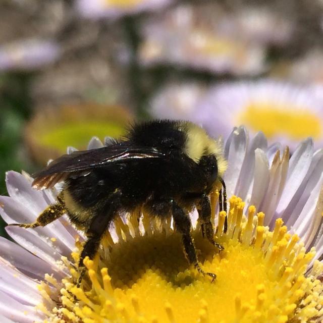 Western Bumblebee EyesonHives