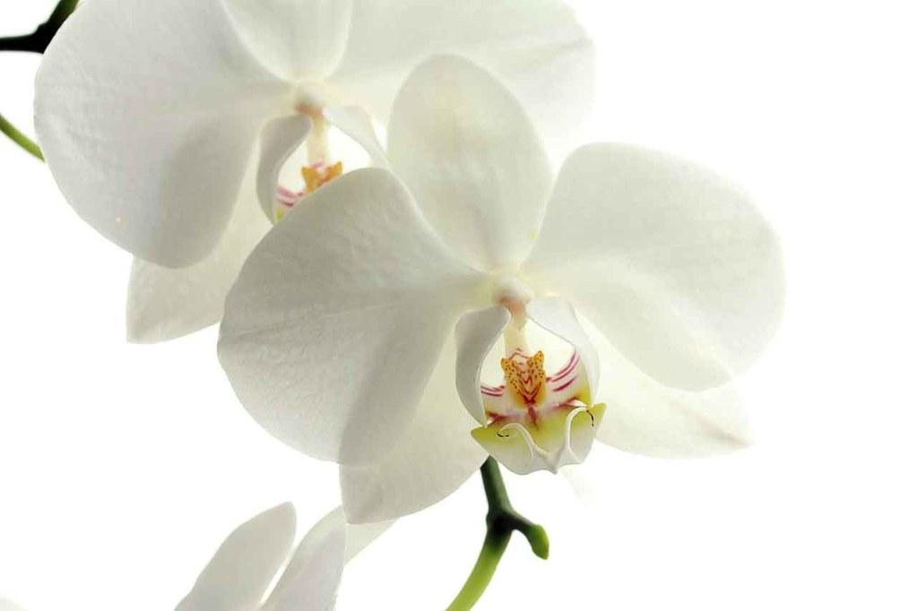 matrimonio maggio orchidea orchidea