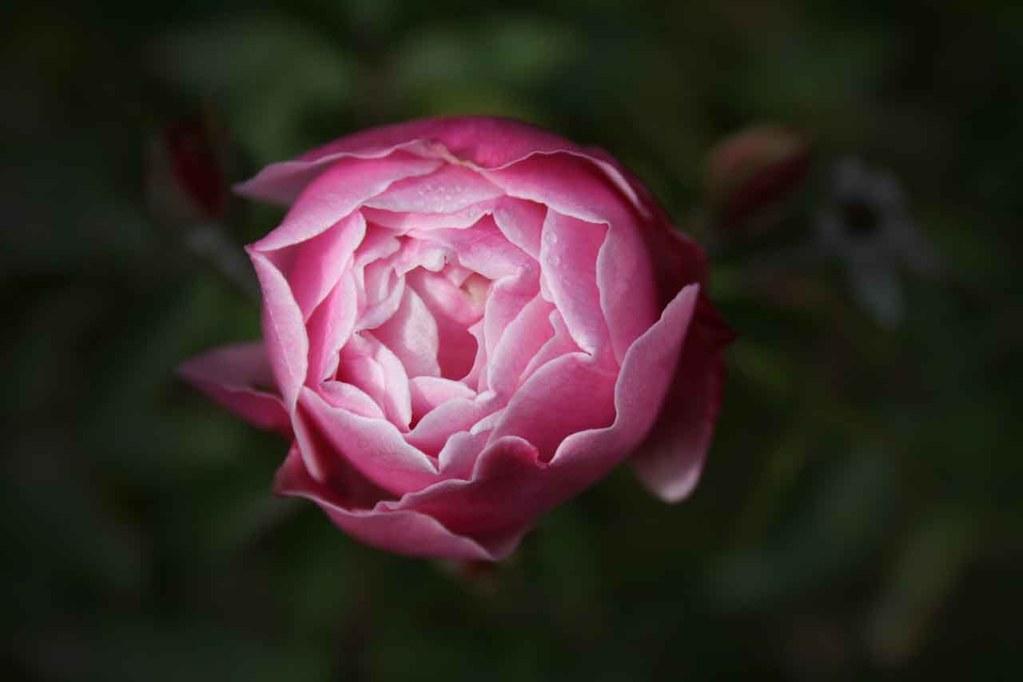 peonia fiore di maggio