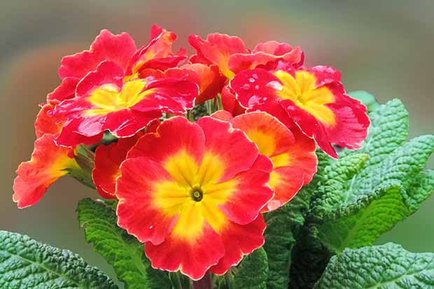 Epifania quali fiori regalare - primule