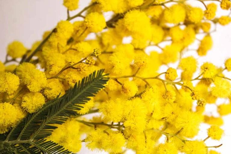 Festa-della-donna-tra-mimosa-e-fiori-artigianali