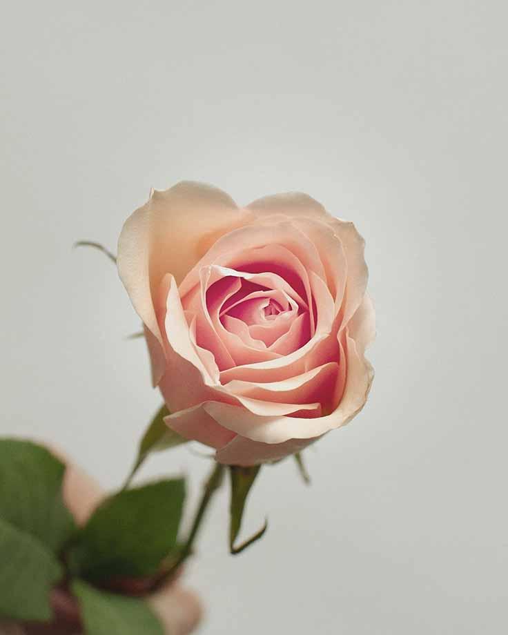 rosa fiore-festa-della-mamma
