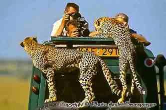 Geparden - kenia mein personliches konzept reise urlaub safaris afrika fuhrer