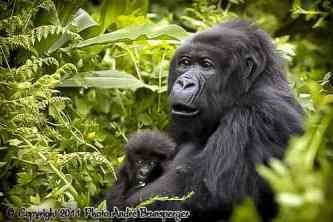 Gorillas - kenia mein personliches konzept reise urlaub safaris afrika fuhrer