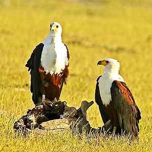 Weißkopfseeadler - Kenia safari Kenia reisefuehrer für mit reisetipp für familien reisen.