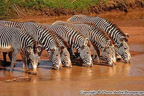 Zebras Samburu - Kenia safari kleines kenia 9 tage