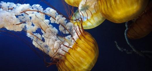 Jellyfish at the Aquarium of the Bay, San Francisco