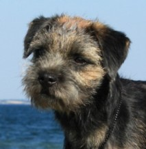 Border Terrier HJELME ONCE UPON A TIME