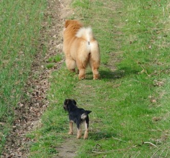 Kennel Hjelmes Border Terrier Hjelme Once Upon A Time og Chow Chow Bao-Fang's Hong-Se Yue-Liang