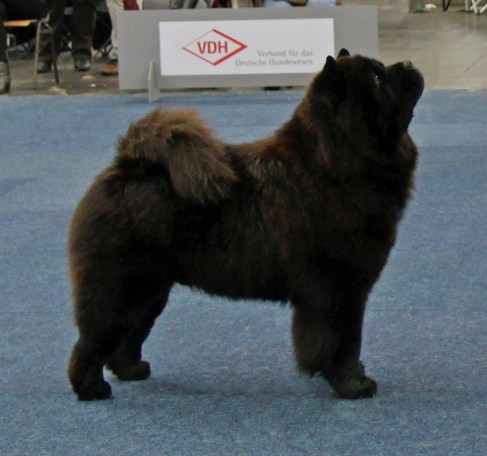 Chow Chow Kennel Hjelme Piuk Chow Possesses Black Passion Ny Tysk Champion