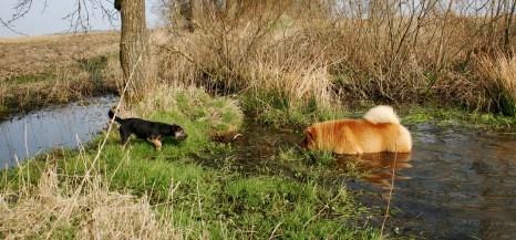 kennel Hjelme Border Terrier og Chow Chow på tur