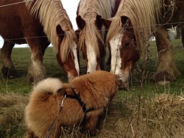 Chow Chow hilser på heste - hundelivet hos Kennel Hjelme