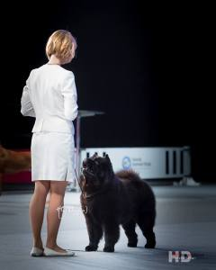 Kennel Hjelmes chow chow store ring Nordisk Vinder 2014. Piuk Chow Possesses Black Passion