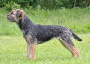 Kennel Hjelme Border Terrier Hjelme Once Upon A Time