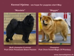 Kennel Hjelme Chow Chow Piuk Chow Possesses Black passion og Piuk Chow Sweet Magic Of Phantasy