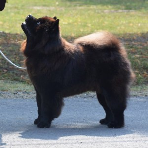 Chow Chow Hjelme Counting Stars