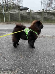Chow Chow Hjelme Can't Stop The Feeling!