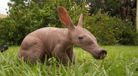 Image Result For Baby Aardvark Busch Gardens