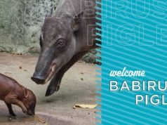 Disney Welcomes a New Baby Babirusa at Animal Kingdom