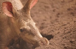 A Brand New Baby Aardvark is Born in Disney