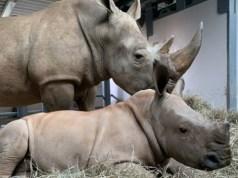 Baby Rhino's Name is Revealed at Disney's Animal Kingdom