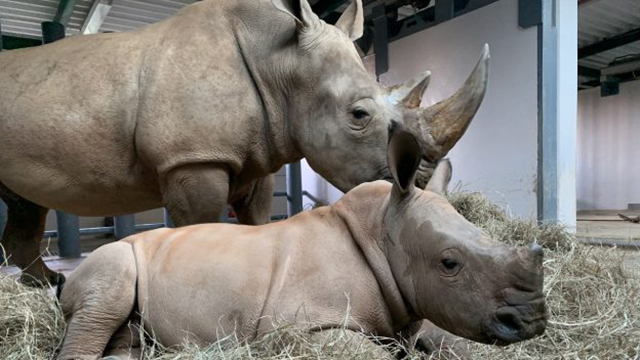 Baby Rhino's Name is Revealed at Disney's Animal Kingdom