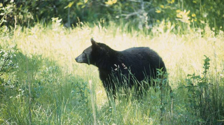 Decapitated bear found amid 'frenzy of poaching' in Oregon, officials say