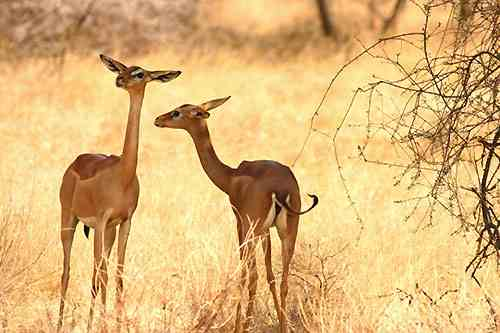 Gerenuk Antilopengiraffe - Kenia Parks und Reservate - Karte und Plan des Samburu - Buffalo Springs Parks in Kenia