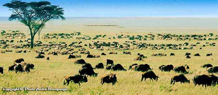 Safari Kenya Prix photo du Masaï Mara Serengeti avec les Gnous