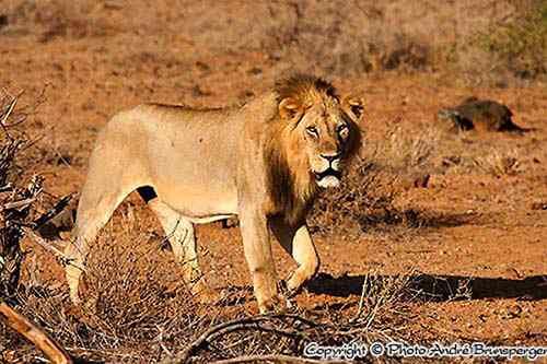 Löwe - Kenia Parks und Reservate - Karte und Plan des Tsavo East Parks in Kenia