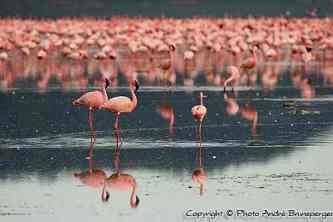 Flamants roses parc du lac Nakuru