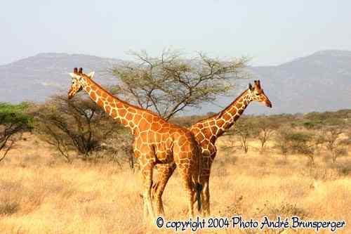 Girafes parc national Meru Kenya