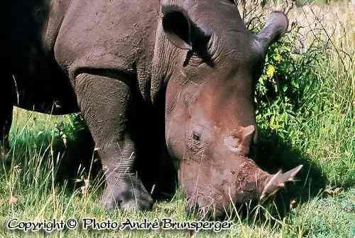 Rhinocéros parc Nairobi Kenya
