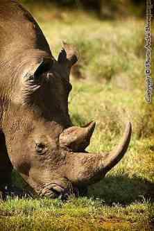 Rhinocéros safari de luxe Tassia Lewa Downs