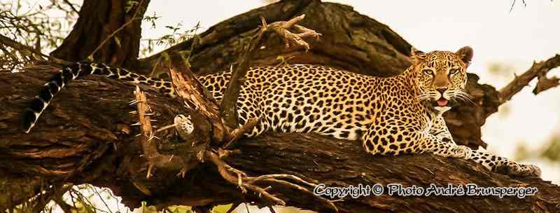 Léopard - Réserve Samburu Buffalo Springs Kenya