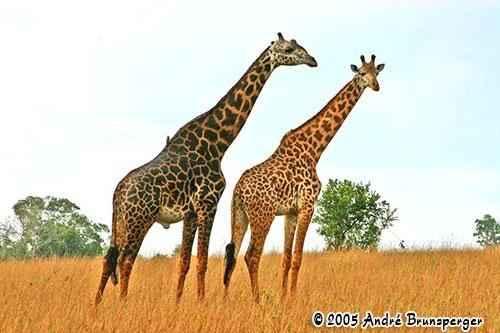 Giraffe - Kenya travel Shimba hills safari one day