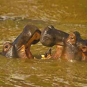 Hippos - Watch out for swindlers Kenya travel watch out for swindlers!