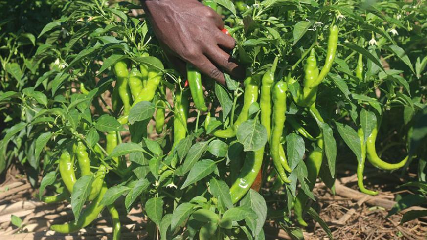 Chilli Farming in Kenya, The Untapped Venture – kenya2uhub