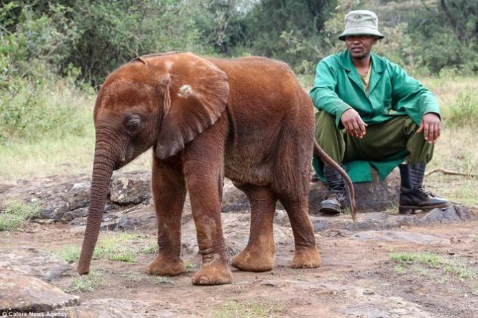 One of the elephants from the David Sheldrick Wildlife Trust (DSWT) Nursery in Nairobi National Park with her caretaker.