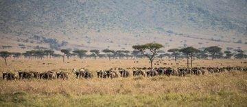 A Wildebeest herd on the move in the Maasai Mara Game Reserve.