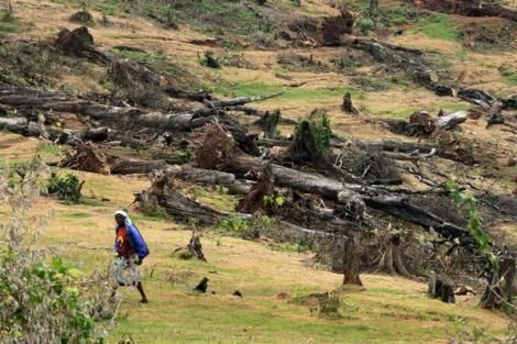 Felled indigenous trees in the Maasai Mau Forest in Kipchoge, Narok County. The Mau forest is a source of crucial rivers, which feed Lake Victoria, the source of the Nile.