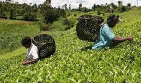 Tea farmers in the field