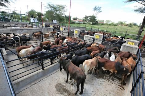 Cattle held at Kenya Meat Commission factory in Athi River