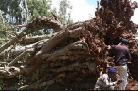 A fallen mugumo tree