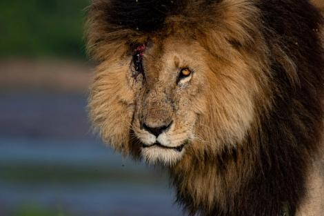 The late lion 'Scarface' who died in Maasai Mara on June 11, 2021